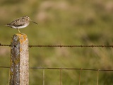 Common snipe perched in fence post Photographic Print by Andrew Parkinson