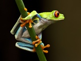 Red-Eyed Tree Frog in Costa Rica Photographic Print by Paul Souders