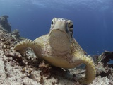 Green sea turtle ( Chelonia mydas ), Sipidan, Sabah, Malaysia, Borneo, South-east Asia Photographic Print by Andrew Davies