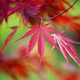 Japanese Maple Leaves Fotografisk tryk af Clive Nichols