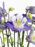 Columbine Flowers Photographic Print by Frank Krahmer
