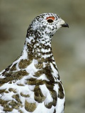 Adult Male White-tiled Ptarmigan (Lagopus Leucurus) in Late Spring Plumage, Northern Rocky Mountain Photographic Print by Wayne Lynch