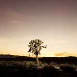 Joshua Tree in Desert Photographic Print by Sam Diephuis
