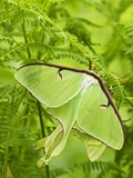 Luna Moth (Actias Luna) Mating Pair Among Hay-scented Ferns, Lively, Ontario, Canada. Photographie par Don Johnston