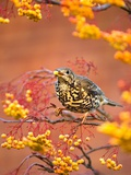Mistle Thrush Feeding in a Rowan Tree Photographie par Andrew Parkinson
