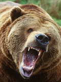 Coastal Grizzly Bear (Ursus Horribilus), Full Face Snarling, British Columbia, Canada. Lmina fotogrfica por Chris Cheadle
