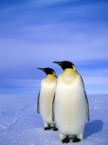 Emperor Penguins (Aptenodytes Forsteri) Near Their Nesting Colony at Atka Bay, Weddell Sea, Antarct Photographic Print by Wayne Lynch
