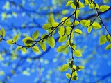 Spring Leaves, Irving Nature Park, Saint John, New Brunswick, Canada Photographic Print by  Barrett & Mackay