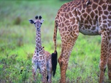 Baby Masai Giraffe at Serengeti National Park Photographic Print by Wolfgang Kaehler