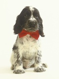 Black and White Springer Spaniel Puppy with Bow Tie Photographic Print by Pat Doyle