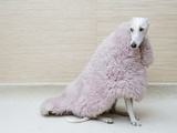 Greyhound Wearing a Pink Rug Photographic Print by Estelle Klawitter