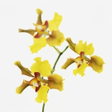 Yellow orchid Photographic Print by Micha Pawlitzki