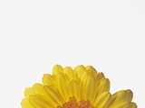 Gerbera Photographic Print by Petrol
