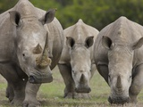 Three White Rhinoceros Photographic Print by Theo Allofs