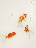 Goldfish Swimming Photographic Print by Hiromoto Hirata