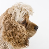 Cocker spaniel Photographic Print by Michael Kloth