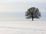 Old oak tree on a field in winter Photographic Print by Frank Lukasseck
