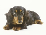 Long-Haired Dachshund Puppy Photographic Print by Pat Doyle