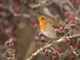 European robin perched among frost covered berries Photographic Print by Andrew Parkinson