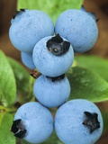 Detail of Ripe Blueberries on Shrubs, a Favorite Food of Birds, Canada Valokuvavedos tekijn Don Johnston