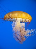 Sea nettle Photographic Print by Richard Nowitz