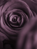 Deep Purple Rose Photographic Print by Clive Nichols