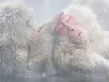 Japanese Macaque Grooming Another in Hot Spring Photographic Print by Frank Lukasseck