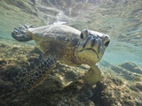 Green sea turtle approaching camera Photographic Print by Tim Davis