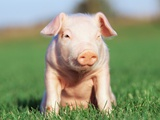 Piglet sitting on grass Photographic Print