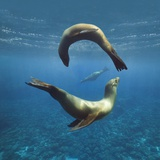 Sea Lions Playing Underwater Photographic Print