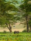 Blaine Harrington - African Elephant in Ngorongoro Crater in Ngorongoro Conservation Area Fotografická reprodukce
