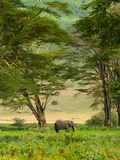 African Elephant in Ngorongoro Crater in Ngorongoro Conservation Area Photographic Print by Blaine Harrington
