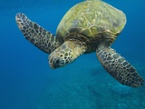 Adult Green Sea Turtle (Chelonia Mydas) in the Protected Marine Sanctuary at Honolua Bay Photographic Print