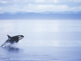 Killer Whale Breaching, British Columbia, Canada. Photographic Print by Jim Borrowman