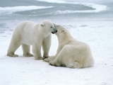 Polar bears Photographic Print by Tom Brakefield