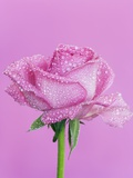 Pink rose with rain drops Photographic Print by Frank Krahmer