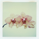 Balkan Kaleidoscope Orchid Photographic Print by John Kuss