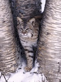 Bobcat in the snow in Montana Photographic Print by Charles Krebs