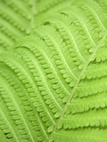 Fern leaf, close up, full frame Photographic Print by  Akira