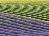 Lavender field Photographic Print by Frank Krahmer