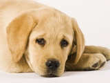 Golden Labrador Retriever Puppy Fotografisk tryk af Martin Harvey