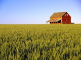 Wheat Crop Growing in Field Before Barn Photographic Print by Terry Eggers