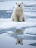 Polar Bear on ice Photographic Print by Paul Souders