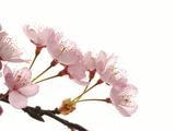 Cherry flowers, close up, white background Photographic Print