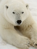Polar bear (Ursus maritimus) Photographic Print by Don Johnston