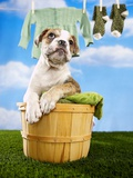 Bulldog Puppy in Laundry Basket Photographic Print by Lew Robertson