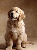 Golden Retriever Puppy Fotografisk tryk af Don Mason