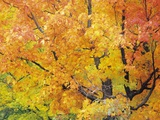 Red Maple in Autumn Foliage, Canada Photographic Print by Don Johnston
