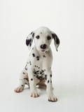 Dalmatian Puppy Photographic Print by Don Mason