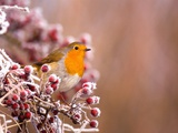 Robin Perching on a Frost-Covered Branch Photographic Print by Andrew Parkinson